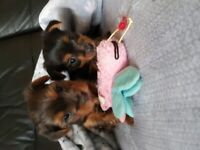 Beautiful Yorkshire Terriers for sale
