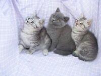 Stunning British Blue/Sliver Tabby Kittens
