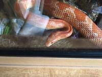 Corns snake and vivarium for sale