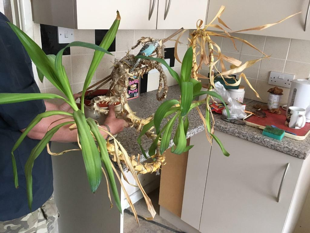 Free free free yucca plant and planter potin Poole, DorsetGumtree - Free Yucca plant and planter pot free to good home moving house free free free