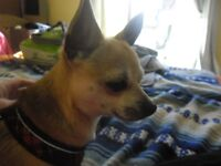 13 month old short haired male Chihuahua, very active character!