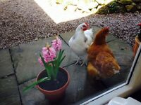 4 lovely chickens looking for loving home