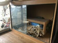 Bearded Dragon and one giant vivarium with all the kit - £50
