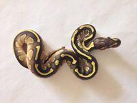 female Lesser ball python