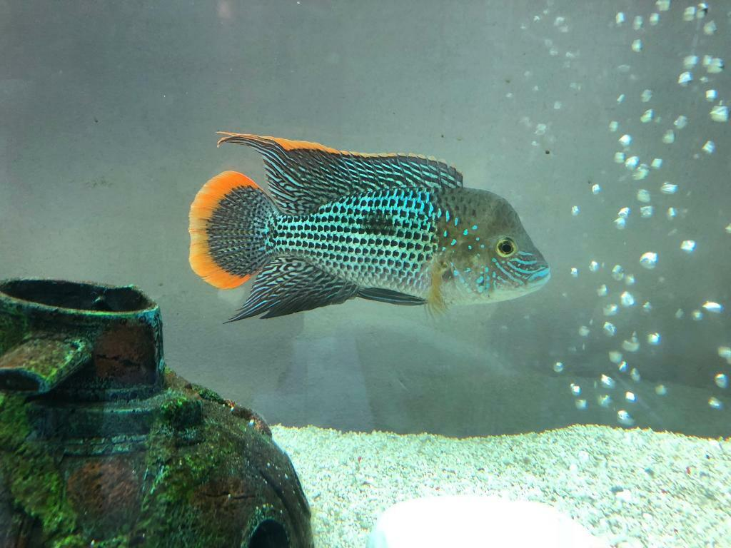 Male fully grown green terror in currie edinburgh gumtree for Green koi fish for sale