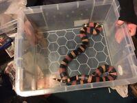 Pueblan Milk Snake CB 2011
