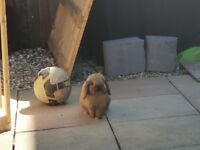 Mini lop male. One year old