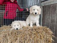 Golden Doodle Puppies (Golden Retriever X Miniature Poodle)
