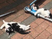 Two beautiful male kittens for sale