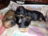Chihuahua Yorkshire Terrier Chorkie Puppies For Sale