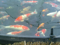 Japanese Koi Carp Beautiful fish from a very large private collection. Fraction of dealers prices..