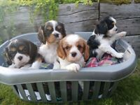 Gorgeous litter of Cavalier King Charles spaniel puppies