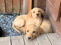 Gold Labrador puppies