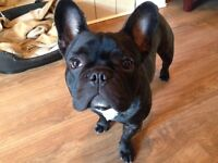 French bulldog 8 months old
