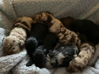 Beautiful cockapoo puppies !!!