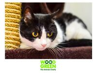 Socks - Domestic (Cat) - 9 Yrs - Looking for her Forever Home