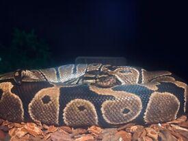 Snake (ball python) + full set up