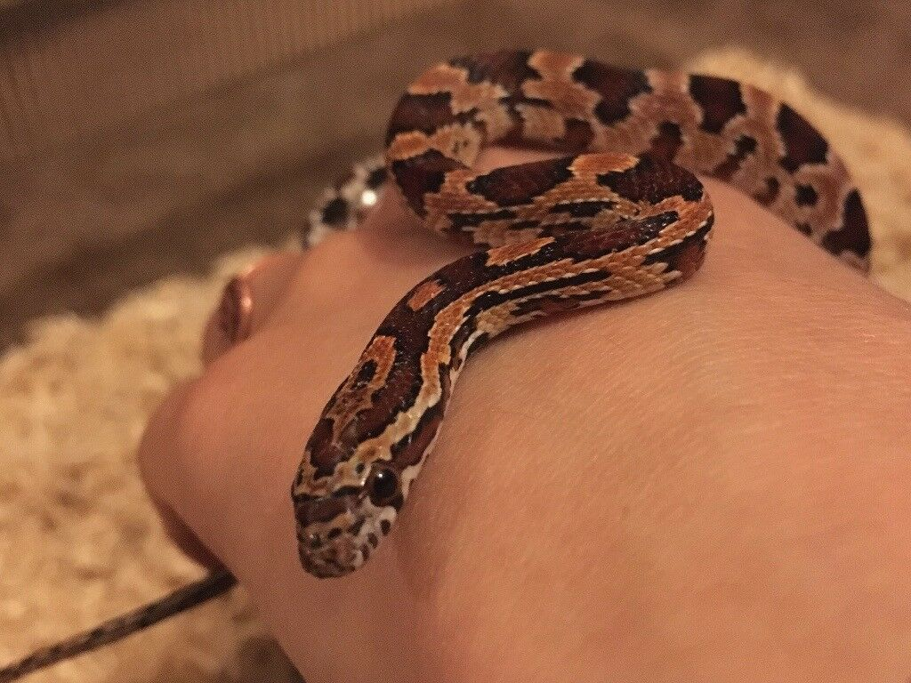 Beautiful baby corn snake for sale | in Bridgwater ...