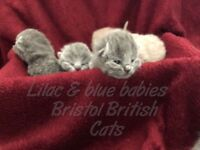 british shorthair kittens lilac blues cats babies