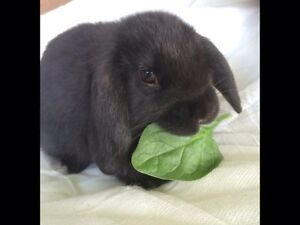 Mini lop babies pure breed Dianella Stirling Area Preview