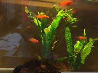 Live Tropical fish young Swordtails 2 to 4cm £1each
