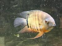 Severum Cichlid Tropical Fish for Aquarium