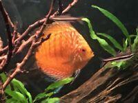 Discus fish/tropical fish X2