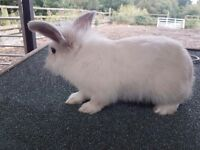 Lionhead x loped eared rabbit free to good home