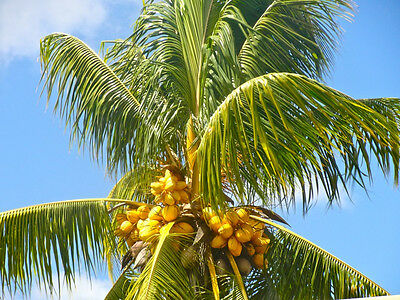 Coconut  Yellow  Exotic Plant Palm Tree Cocos Nucifera Ready To Pot  1 Live Seed