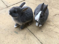 baby rex rabbits for sale