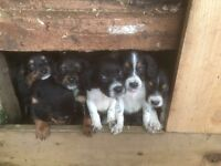 Speagle Puppies for Sale