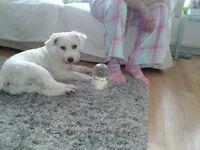 Barney a delightful 17 month Bichon Frise
