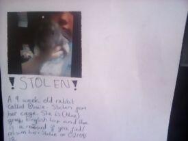 Stolen baby rabbit