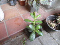 House plants-Money or Jade plant in 10 cm pot