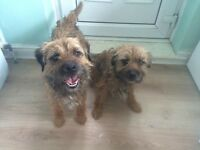 2 make border terriers for sale