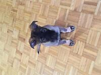 Pure Bred German Shepherd Puppy For Sale $900
