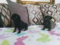 3/4 PUG PUPPYS