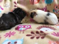 Two lovely male guinea pigs.