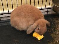 Rabbit with indoor hutch