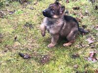 Alsatian Dog German Shepard Puppy