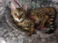 Bengal kitten/cat
