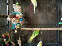 Beautiful Young Multi Coloured Budgies