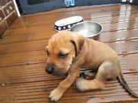 Boy Great Dane puppy 5 weeks old