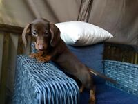 FOR SALE Amazing Pure Breed Dachshund female