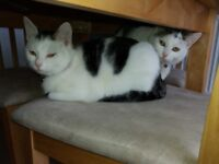 Two female 7 month old kittens