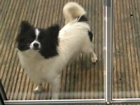 Amazing little girl long haired full chihuahua