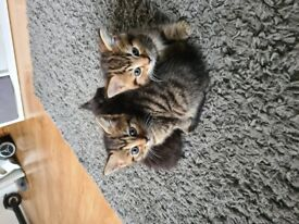 3 beautiful female kittens ready for new homes