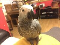 Super tame Baby African Congo Grey Talking Parrot