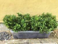 30 x Box hedging plants