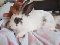 3 month old Male rabbit free to good home